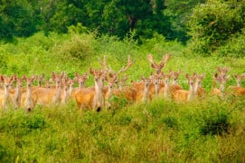 Deer herd at Baluran National Park