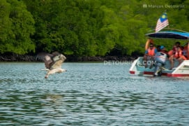 Eagle swooping down to the sea surface on a boat tour in Langkawi, Malaysia.