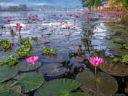 Lily fields, in Lake Seloton, Lake Sebu, South Cotabato, Philippines