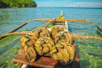 Giant Clams in Camiguin, Philippines