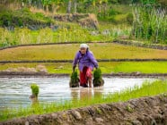 Old woman planting rice at the rice terraces, in Sagada, Mountain Province, Philippines